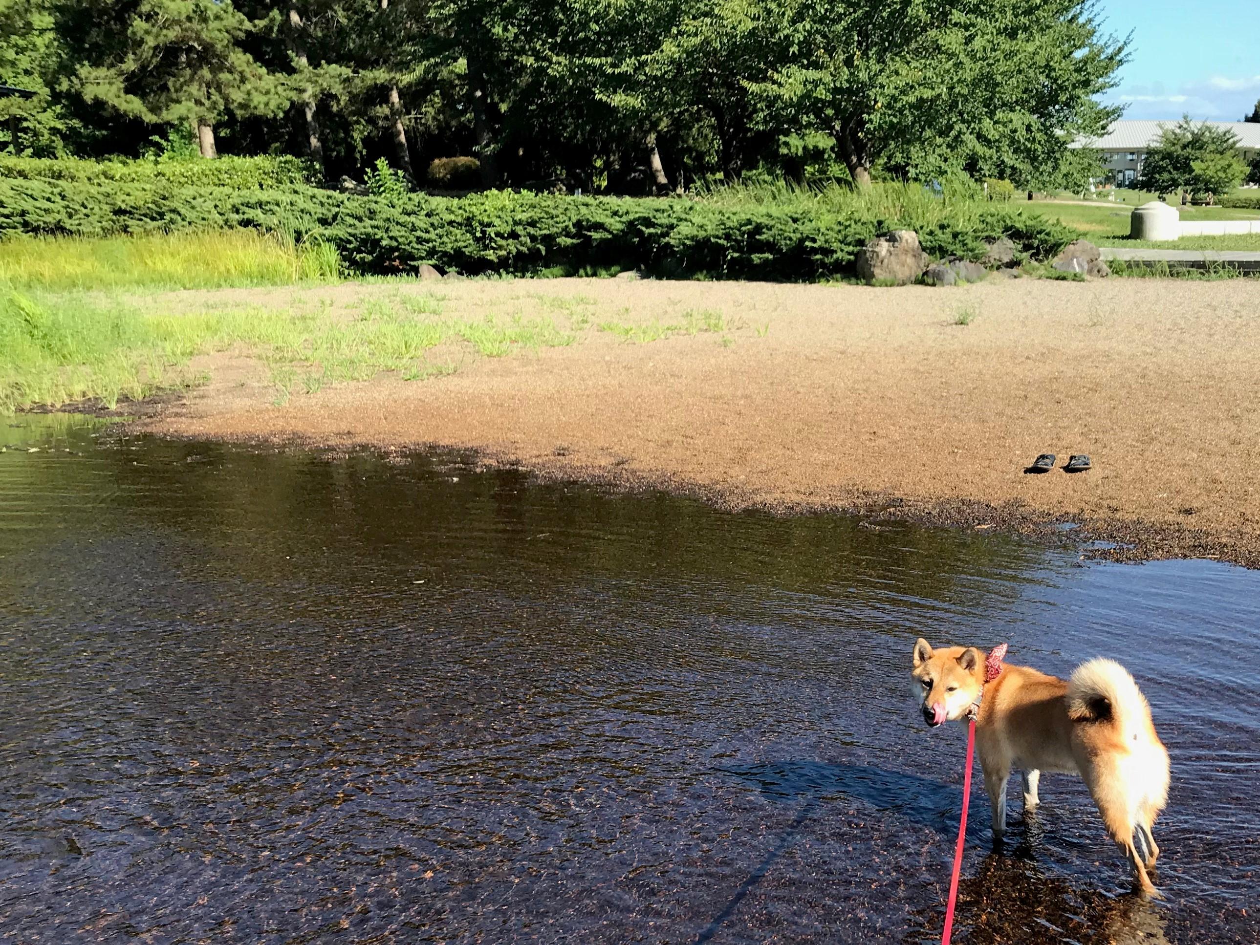 川の中の柴犬コロ