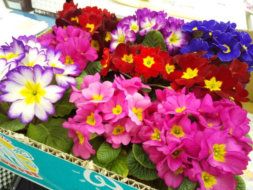 プリムラの花の写真